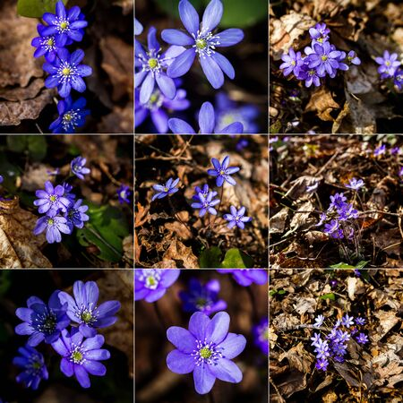 Collection of images with first fresh blue violet in the forest. Blue spring wildflower liverwort, Hepatica nobilis. Low deph of field