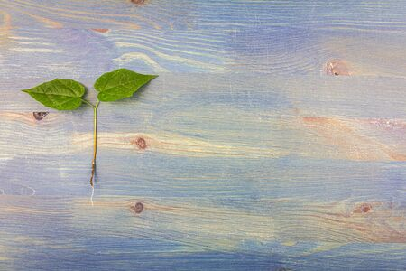 Young lilac tree with roots on blue wooden background