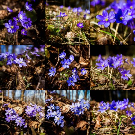 Collection of images with first fresh blue violet in the forest. Blue spring wildflower liverwort. Low deph of field