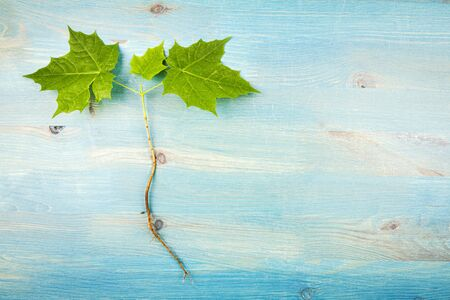 Young maple tree with roots on blue wooden background