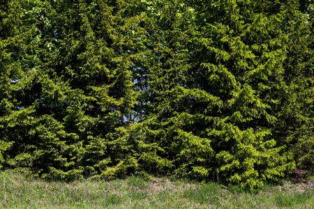 Green grass and green fir trees background 版權商用圖片