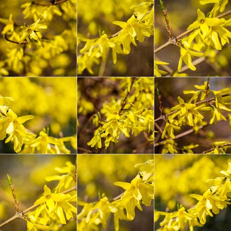Collection of images with yellow forsythia flowers. Yellow blossoms of forsythia bush. First blooming bush in spring.