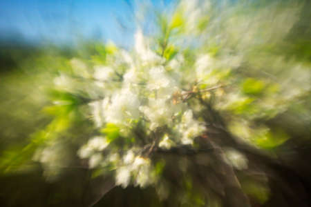 Defocused beautiful spring blossoming plum tree. Abstract bokeh background.