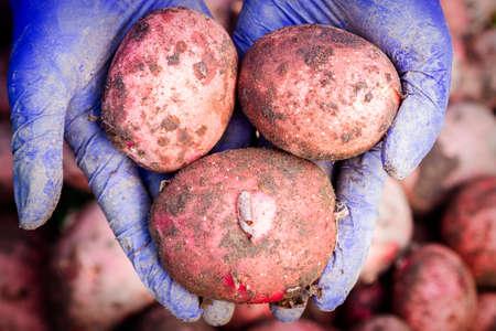 Fresh red potatoes in female farmer's hands. Organic potato harvest in garden.