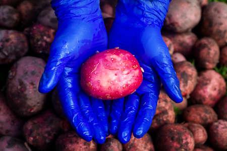 Fresh washed red potatoe in female farmer's hands. Organic potato harvest in garden. Stock Photo