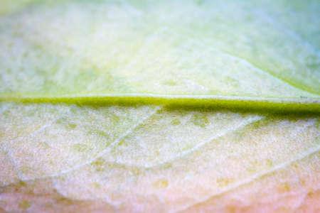 Extreme close-up of a Money tree plant (zamioculcas zamiifolia) leaf showing leaf veins Stockfoto