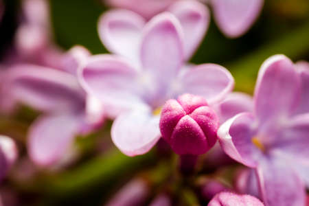 Extreme close up image of lilac blossom. Selective focus and shallow depth of field.