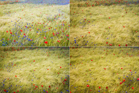 Collection of images with blooming cornflower -Centaurea cyanus - in rye and poppy field on a sunny summer day Foto de archivo
