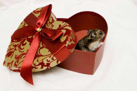 hamster inside the gift box photo
