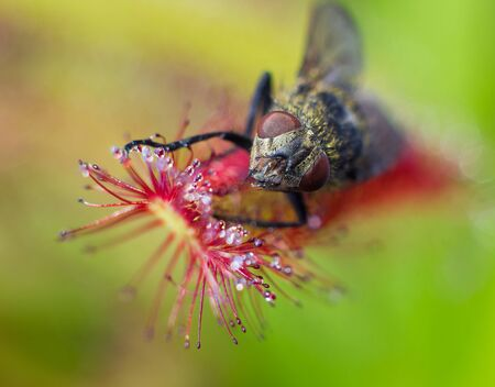 Macro face of fly catched by Sundew (drosera) - carnivorous plant