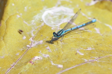 yellow tailed: Scarce blue tailed damselfly on the yellow leaf - close up macro