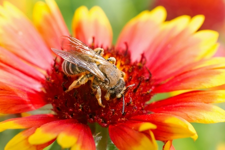 stamen wasp: Big bee on the red flower - macro close up photo