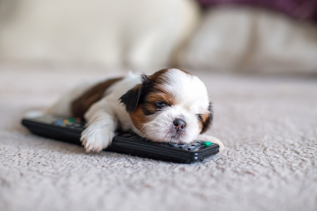 Face of little shih-tzu puppy with remote control