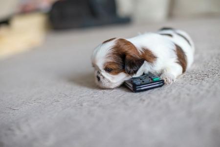 shihtzu: Little white shih-tzu pup at remote control Stock Photo