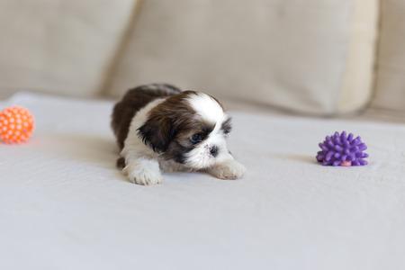 scare: Little scare white colored shih-tzu puppy