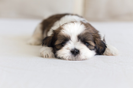 Little furry shih-tzu pup on the soffa watching you