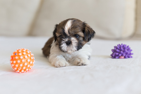 pupy: Little furry shih-tzu pupy are playing with toys