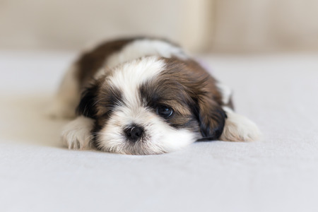Eye and nose of little furry shih-tzu puppy