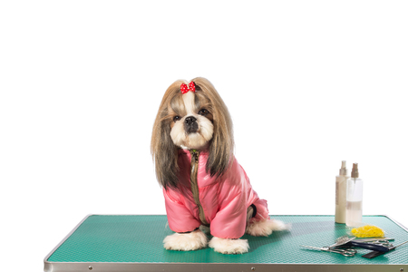 dog in costume: Well groomed shih-tzu at the groomer table in pink dog costume - isolated on white