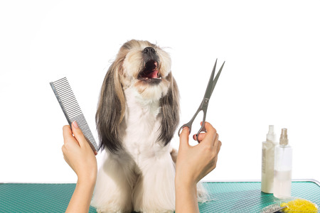 dog grooming: Little beauty shih-tzu at the groomers hands with comb and  scissors - isolated on white