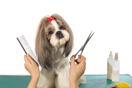 groomer: Beautiful shih-tzu dog at the groomers hands with comb and  scissors - isolated on white Stock Photo