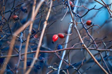 briar: Branch of wild briar berries in the evening - nature background Stock Photo