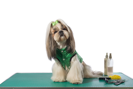 dog in costume: Well groomed shih-tzu at the groomer table in green dog costume - isolated on white Stock Photo