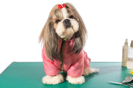 dog in costume: Fluffy shih-tzu at the groomer table in pink dog costume - isolated on white