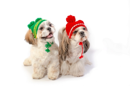 cute dog: Two happy shih-tzu puppies in red and green winter hats - isolated on white Stock Photo