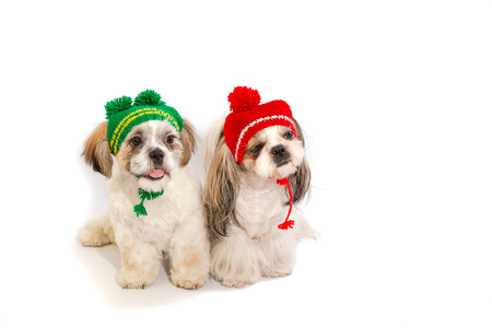 shihtzu: Two shih-tzu puppies are sitting in winter hats - isolated on white