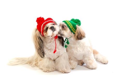 shihtzu: Two happy shih-tzu puppies kisses - isolated on white Stock Photo