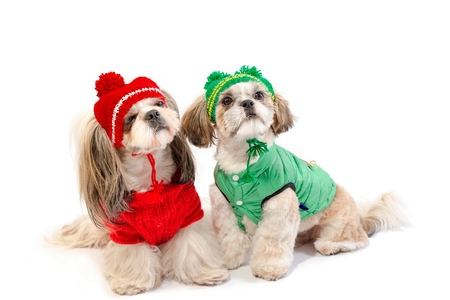 shihtzu: Two little shih-tzu posing in red and green winter dod clothes - isolated on white