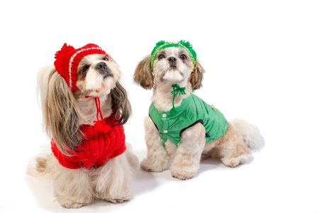 shihtzu: Two happy shih-tzu puppies in red and green winter clothes - isolated on white