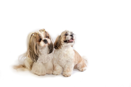 dog grooming: Two shih-tzu mom and her puppy - isolated on white Stock Photo