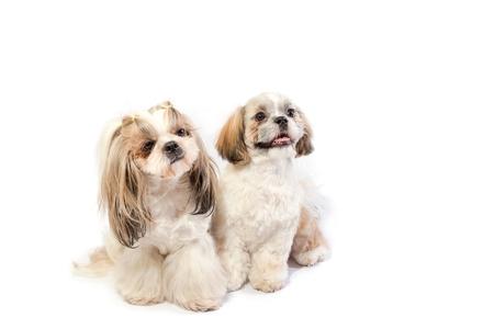 Dos shih-tzu, mamá y su cachorro, sentado - aislado en blanco