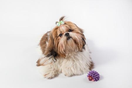 shihtzu: Fat funny fluffy shih-tzu puppy - isolated on white