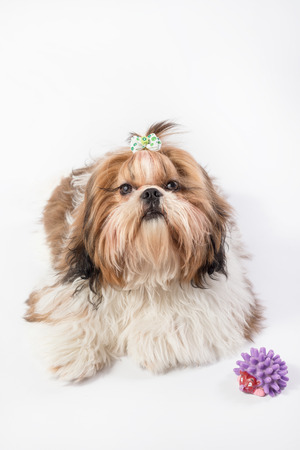 shihtzu: Shih-tzu fluffy puppy portrait - isolated on white