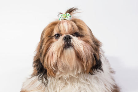 shihtzu: Little fluffy Shih-tzu dog portrait - isolated on white Stock Photo