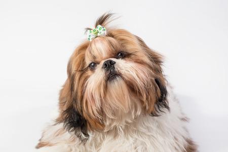 shihtzu: Little Shih-tzu dog portrait - isolated on white