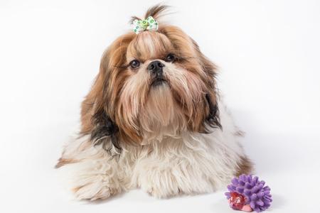 shihtzu: Shih-tzu red puppy portrait - isolated on white Stock Photo