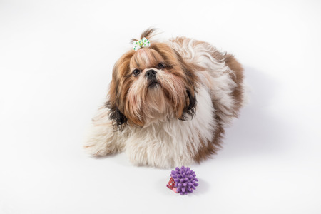 dog grooming: Funny fluffy Shih-tzu puppy girl - isolated on white Stock Photo