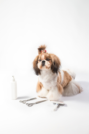 shihtzu: Ideal Shih-tzu beauty grooming puppy - isolated on white