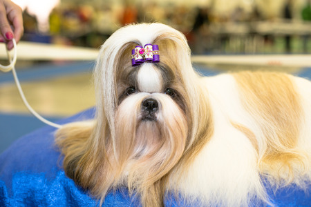 groomed: Well groomed Shih-tzu with long fur portrait - at the exhibition