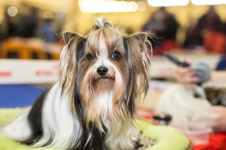 groomed: Well groomed Biewer Yorkshire terrier portrait - at the exhibition