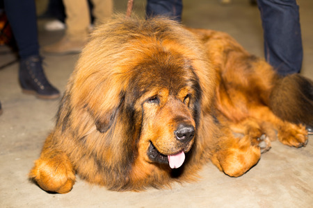 groomed: Great red well groomed Tibetan Mastiff - at the exhibition Stock Photo