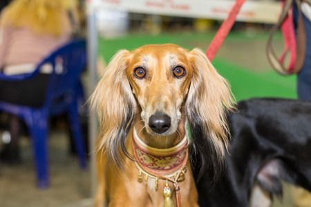furred: Great red furred hound eyes - at the exhibition