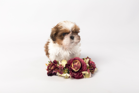 shihtzu: One cute little shih-tzu puppy with flower crown isolated on white background