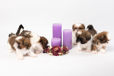 holliday: Five cute shih-tzu puppies with holliday candles isolated on the white background