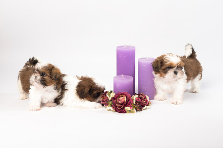 holliday: Two cute shih-tzu puppies with holliday candles isolated on the white background