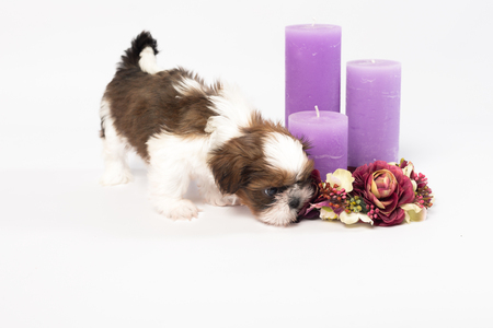 One cute little shih-tzu puppy with holliday candle isolated on the white background